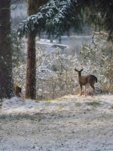 Deer in backyard Nov 2010
