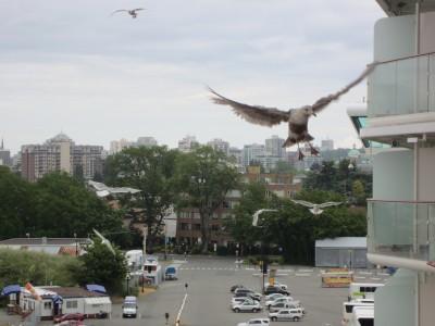 Docked in Victoria - Is that Jonathon Livingston Seagull?